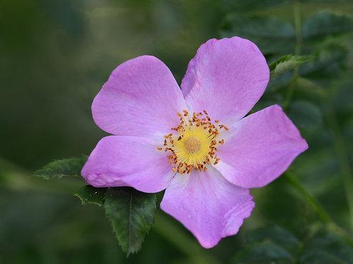 Rosa carolina-Pasture Rose 1G