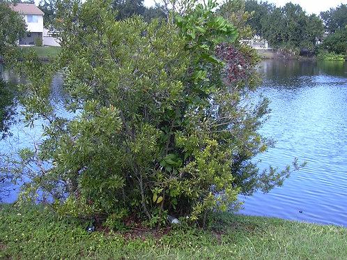 Myrica pennsylvanica -Northern Bayberry 1G