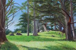 Sunlit Glen of Monterey Cypress