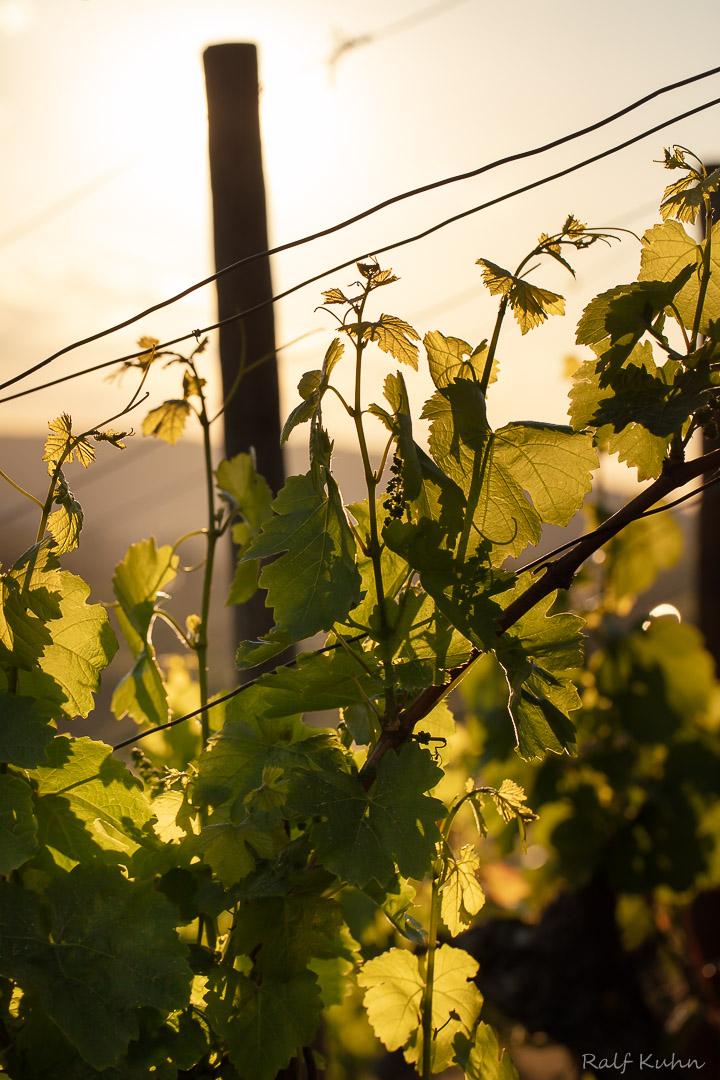 Weinblüte-9918