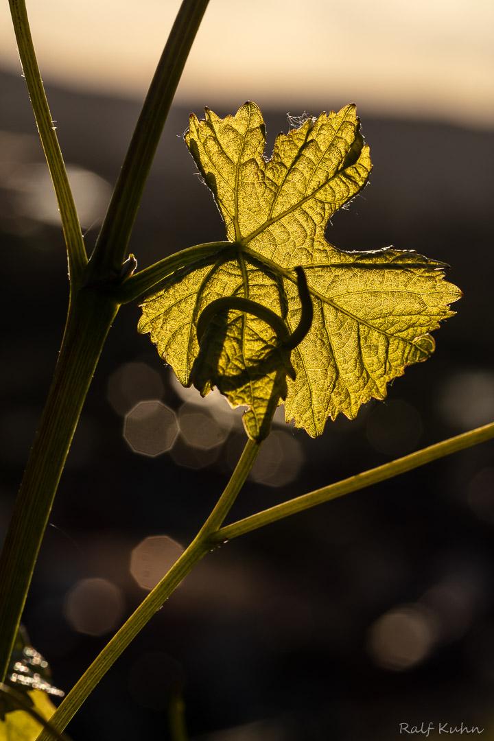 Weinblüte-9849