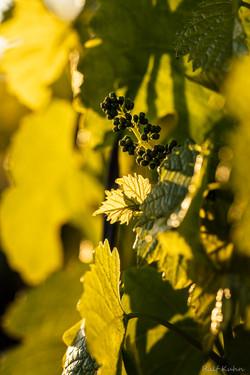 Weinblüte-9941