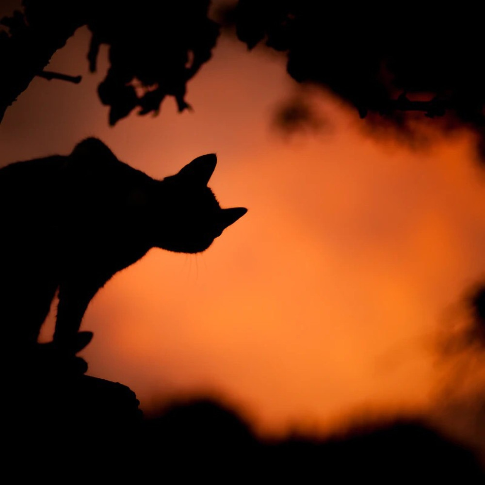 Sombra gato preto