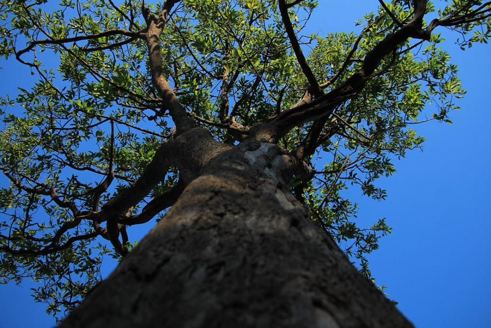 Foto de uma árvore tirada de baixo para cima