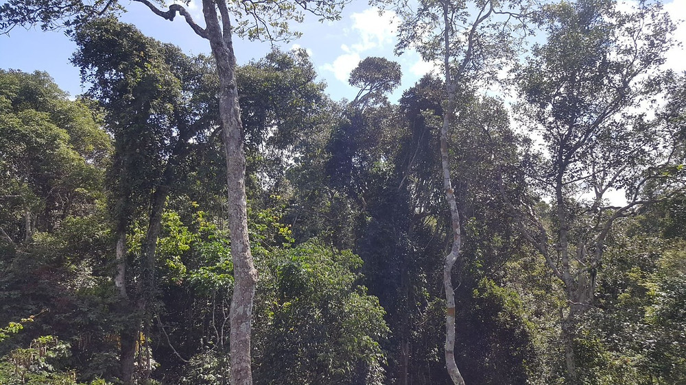 Diversas árvores da Reserva Ariramba