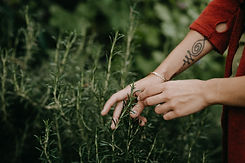 hands picking rosemary herbs.