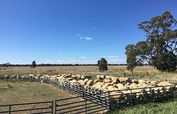 Cooinda Border Leicester Ewes