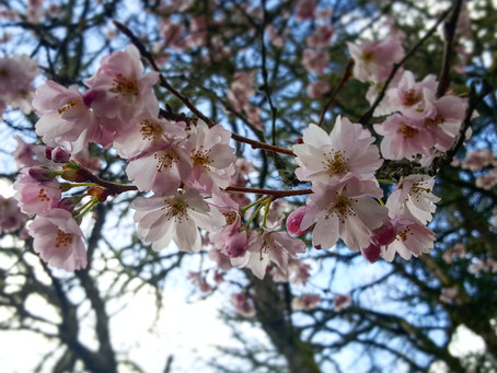 Sakura are in peak bloom