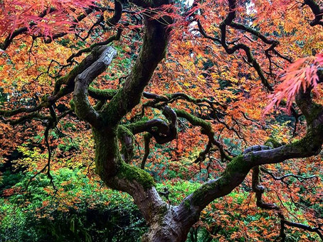 Discover Autumn In The Portland Japanese Gardens...