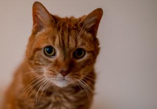 Calica Cat