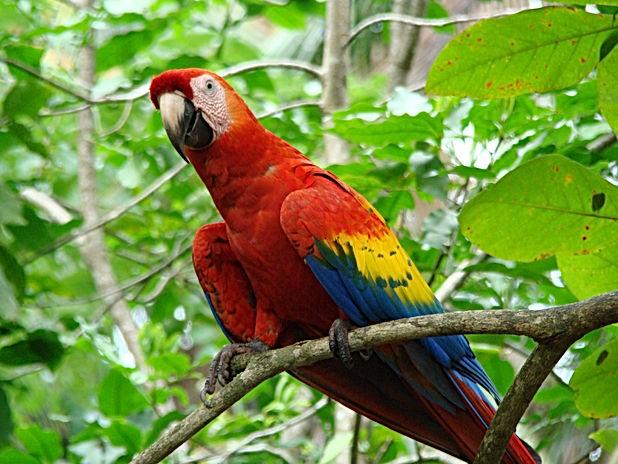 Macaw in costa rica