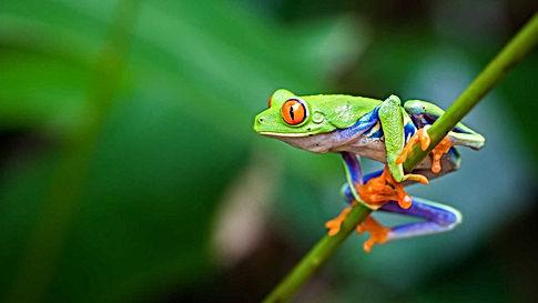 nws-costa-rica-frog.jpg