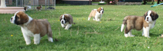 group of st bernard puppies