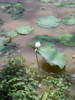 Lotus+flower+%28closed%29.jpg