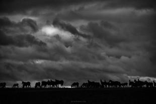 Geli herd