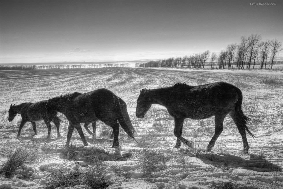 Karachai horses