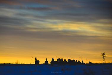 Karachay herd
