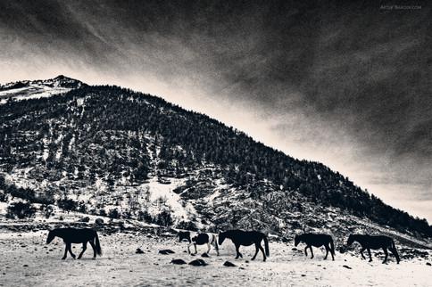 Karachay horses