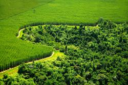 Stora-Enso-plantation