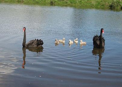 big-swan-family.jpg