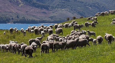 Sheep-mustering-Discover-Dingleburn-High