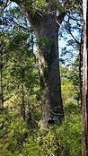 tree-kauri-20151228-113014.jpg