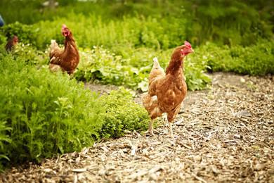 chickenfarm-1.jpg