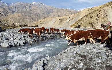 full_Mustering_hereford_cattle_on_Muzzle