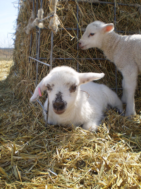 Farm Fresh Lamb
