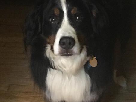 Bernese Mountain Dog Union has a new Prez