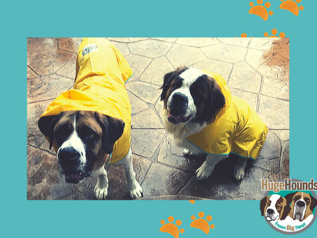 Raincoats for Bernese Mountain Dogs