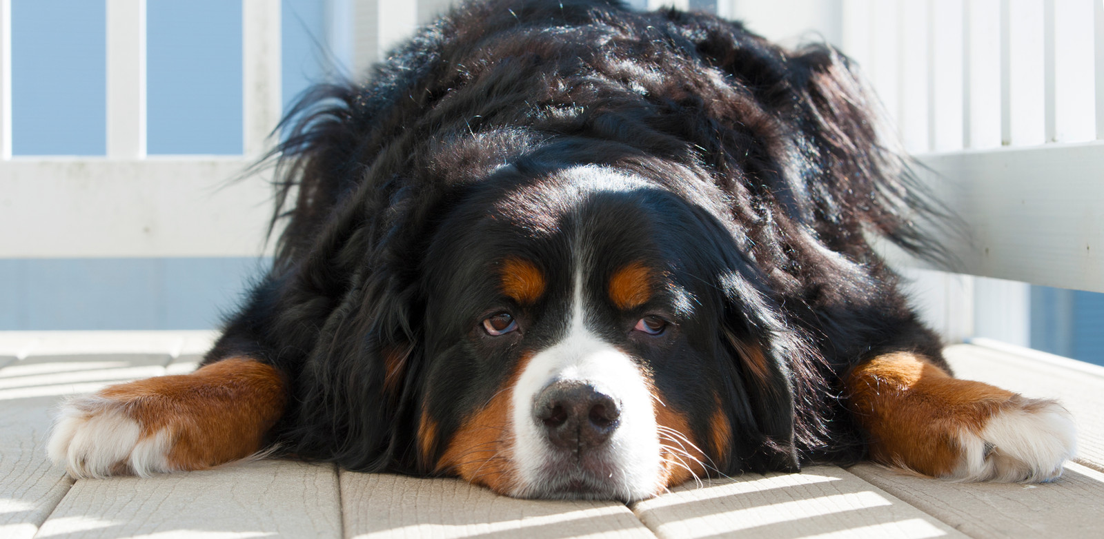 Bfw Rescue Inc Bernese Mountain Dogs