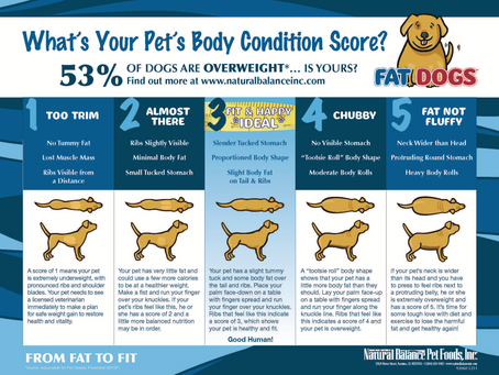 Is your Bernese Mountain Dog the correct weight?