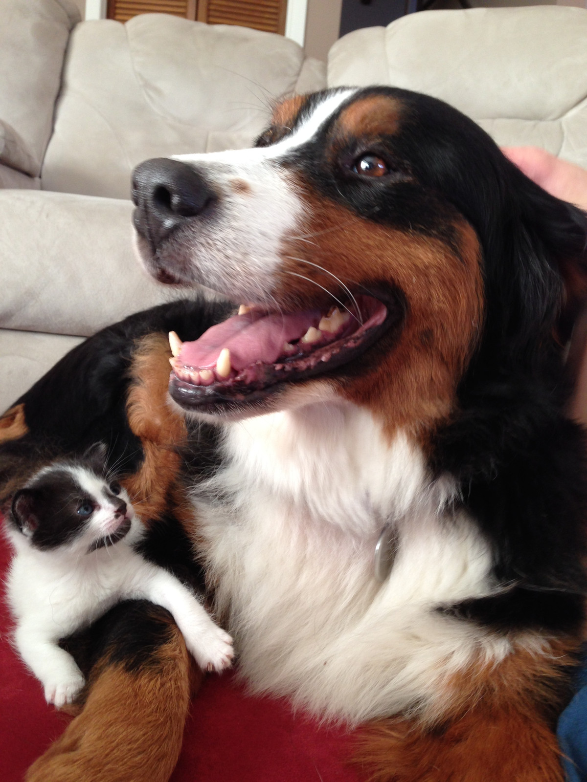 Bfw Rescue Inc Bernese Mountain Dogs