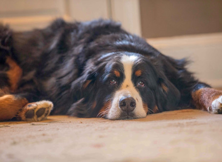 Special Book for Dog Lovers & Proceeds support Berner Rescue