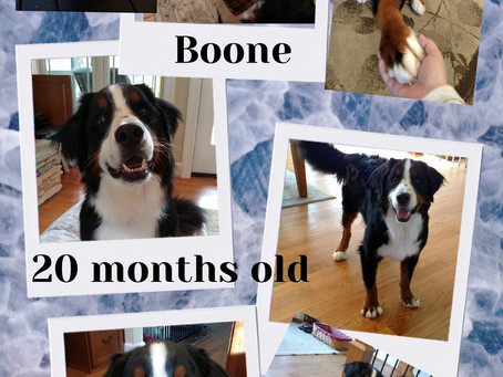 Boone is Ready for a Forever Home