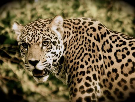 El Jaguar; su magia y presencia en tierras Mayas