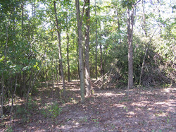 Cleared understory (left) under hickory trees.