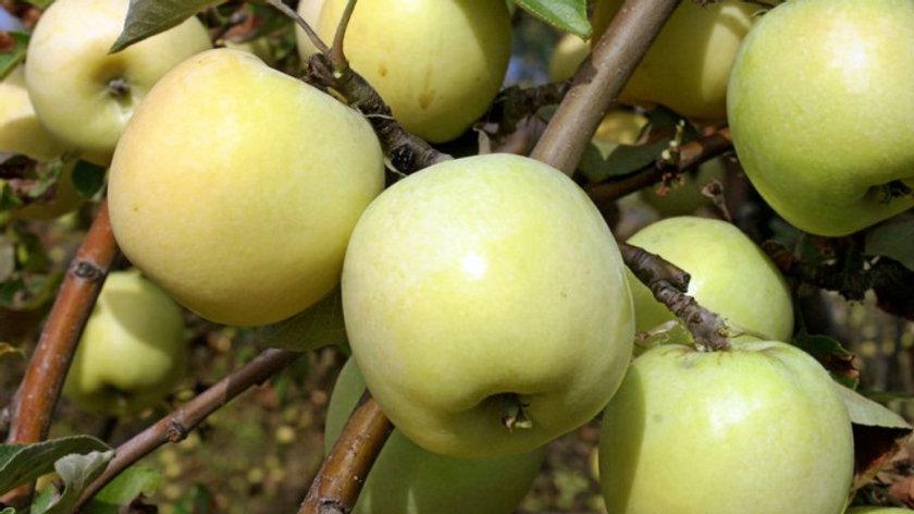 Антоновка золотая ранняя (Осенний сорт)