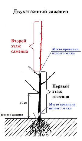 Схема двухэтажного саженца.jpg