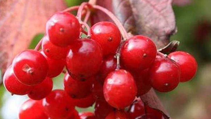 Красная гроздь