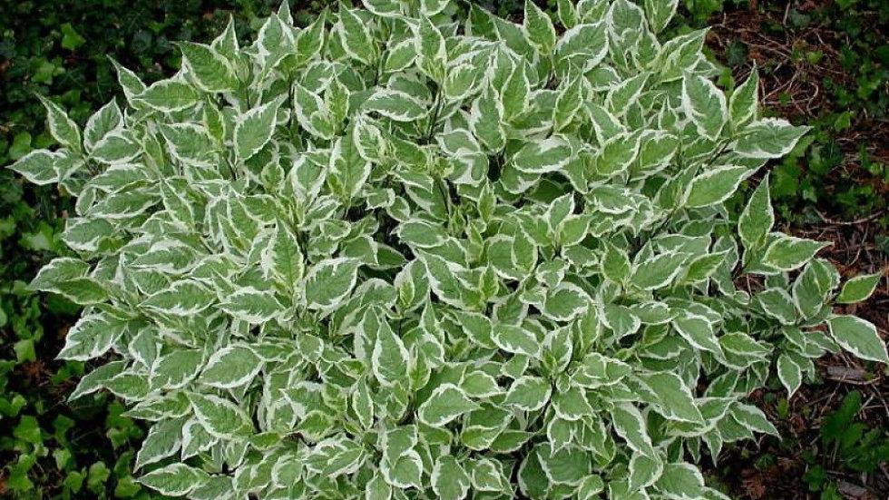 Белый (с зелеными листьями)