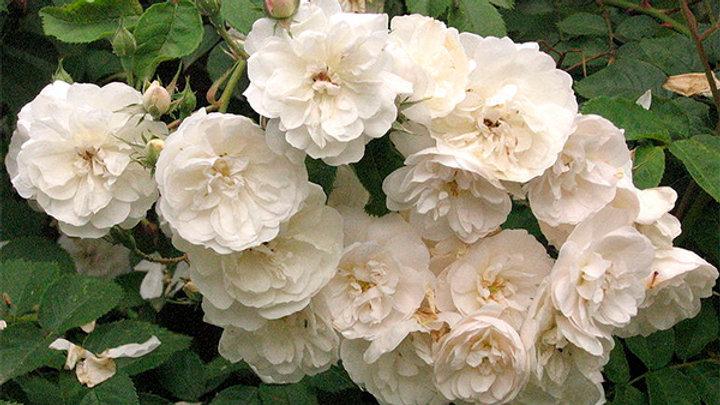 Мелкоцветная белая (ГДР)