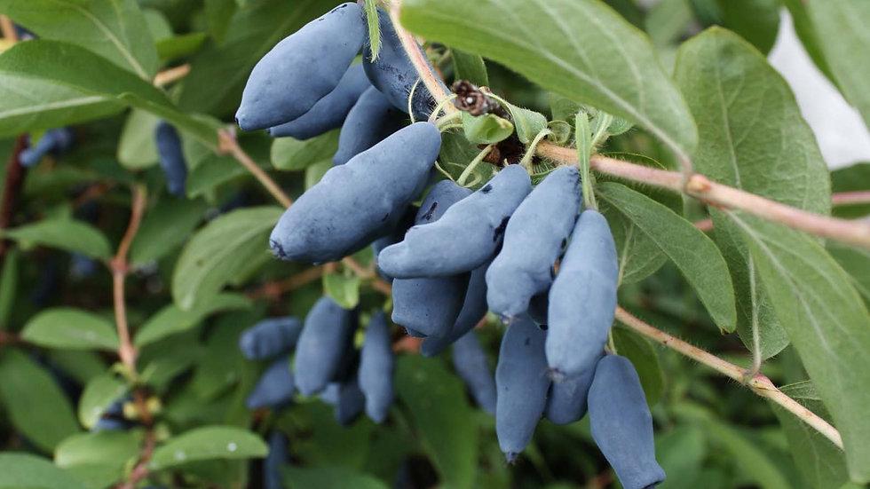 Голубое веретено (Ранний)