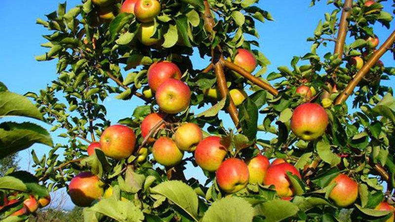 Жигулевское (Осенний сорт)