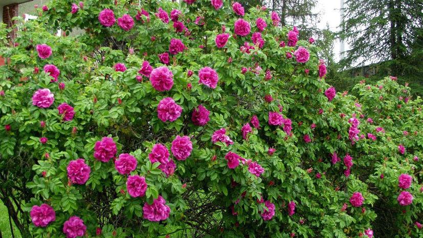Роза Ругоза (морщинистая)