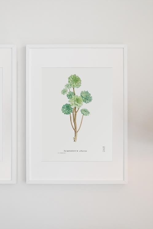 Gravura Botânica - Sempervivum arboreum