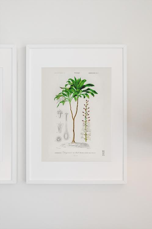 Gravura Botânica -Dracena