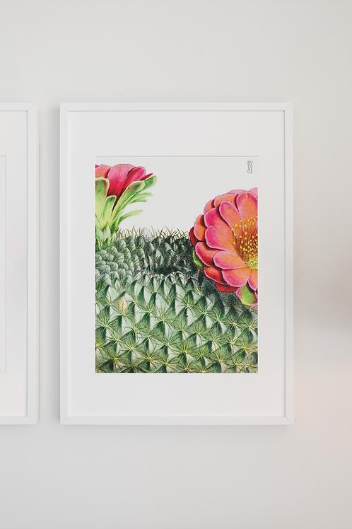 Gravura Botânica - Echinocactus