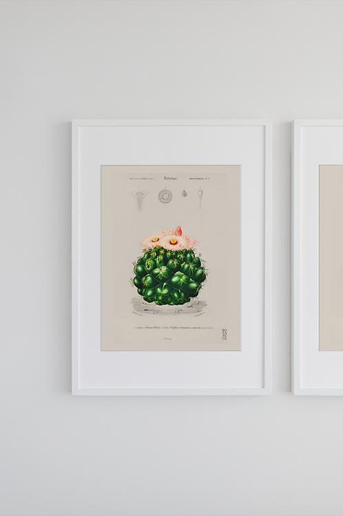 Gravura Botânica - Mammilaria